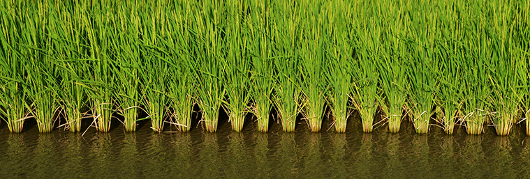 Image of a paddy field